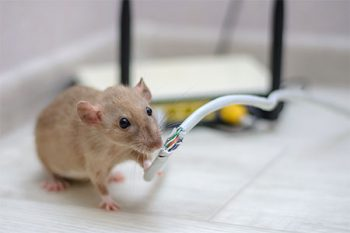 Rat Exterminator Chandler