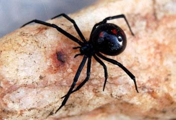 Black Widow1